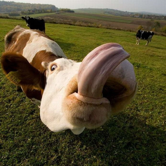Днем, корова картинки приколы
