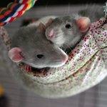 Крысы декоративные, советы по уходу