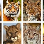 Семейство кошачьих, страшные но интересные факты
