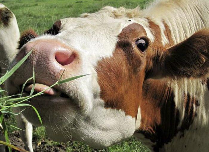 картинки с приколами про корову известно