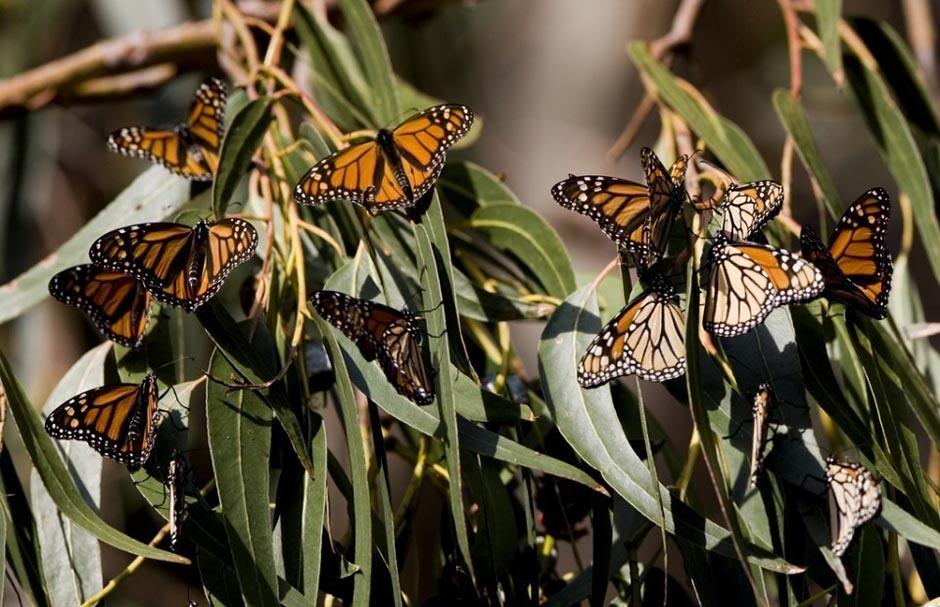 Большое нашествие бабочек