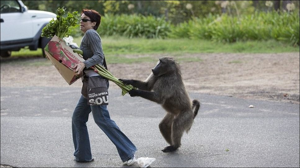 Наглые воришки бабуины