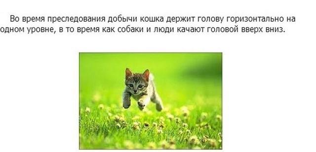 Интересные факты в картинках про кошек и котят