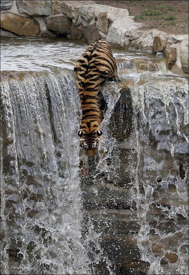Как охлаждаются амурские тигры