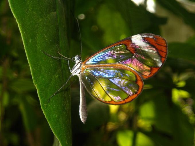 Бабочка с прозрачными крыльями