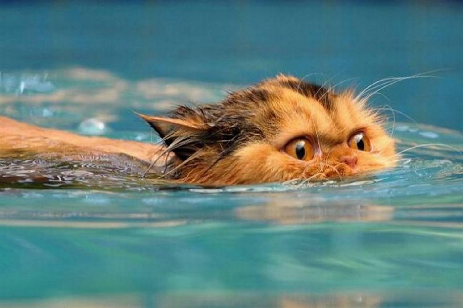 Кошки в воде, смешные фото