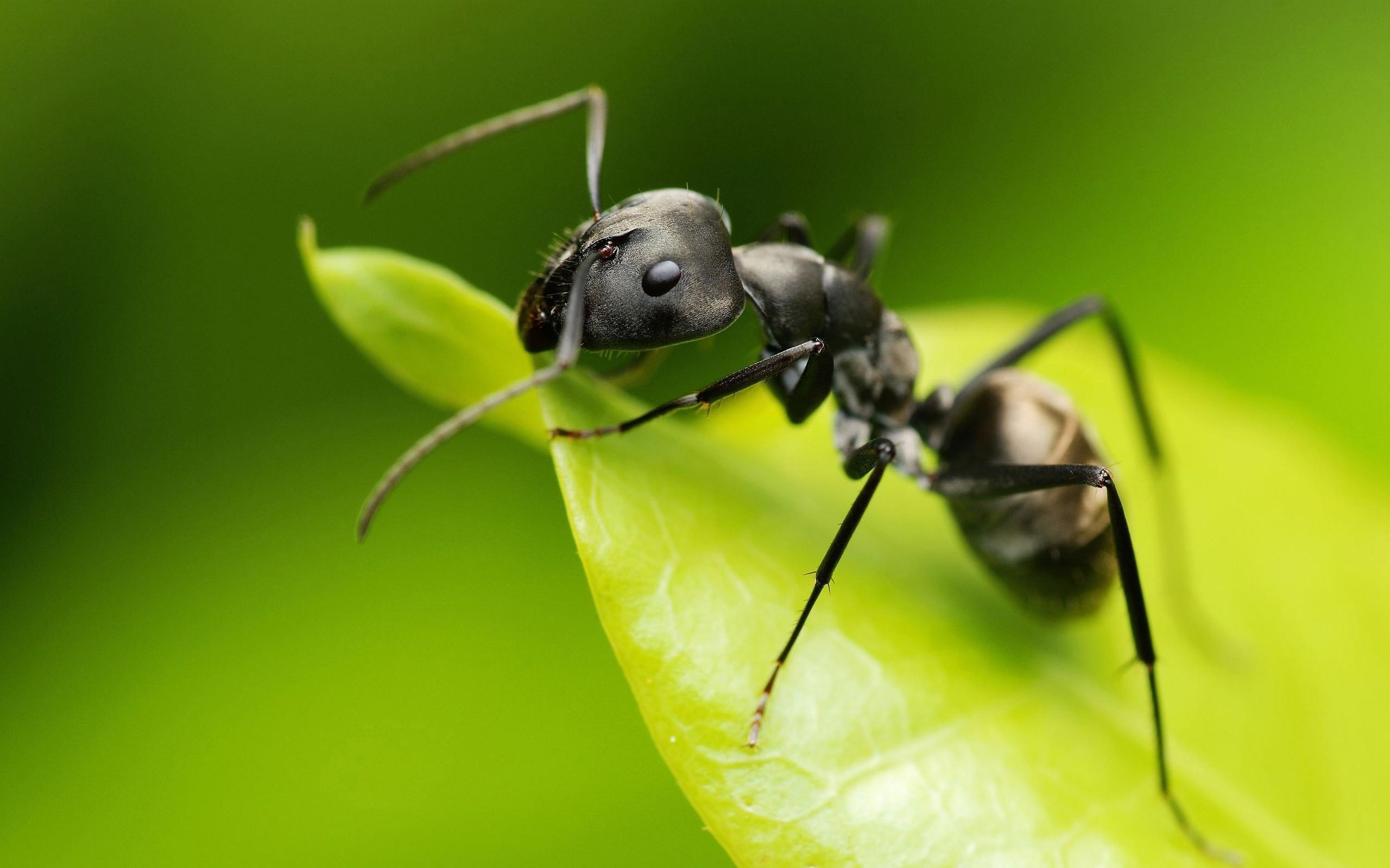 Обои на рабочий стол муравей