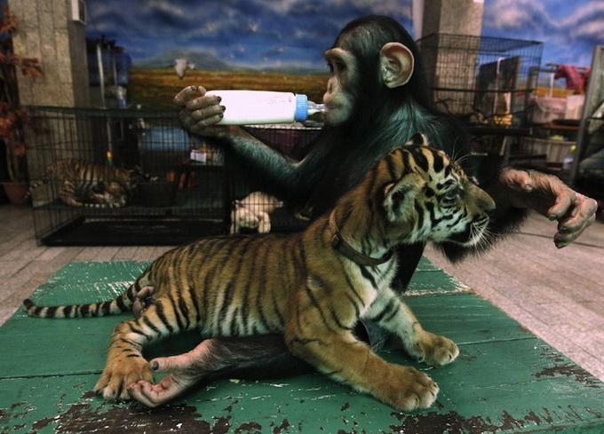 Обезьяна кормит молоком тигренка