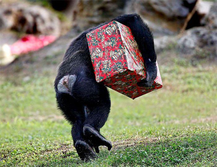 Новогодние подарки для шимпанзе