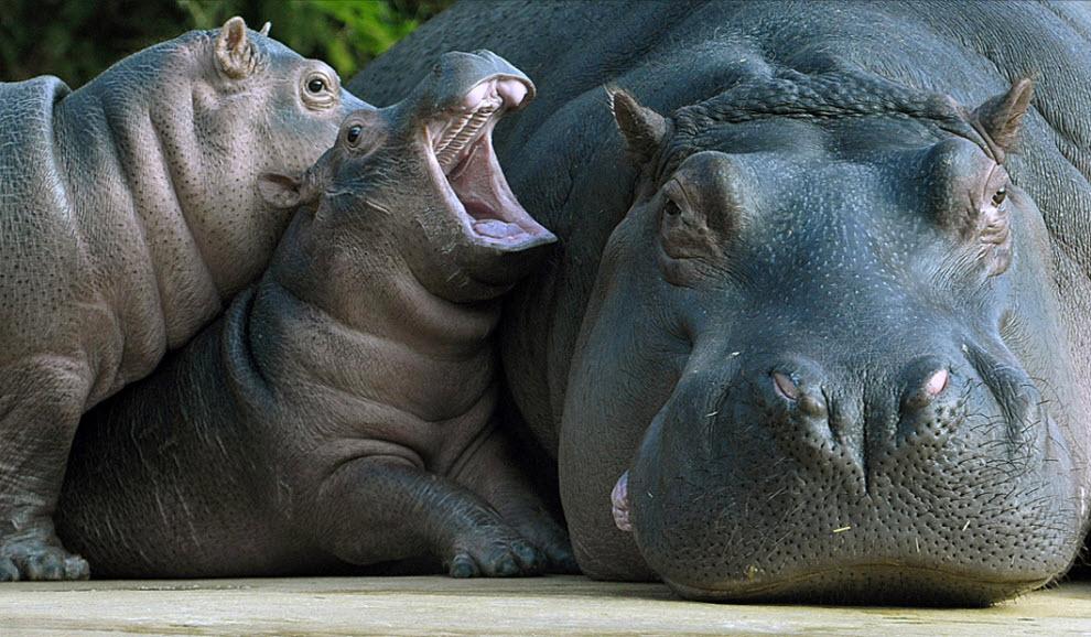 Малыш гиппопотам с мамой