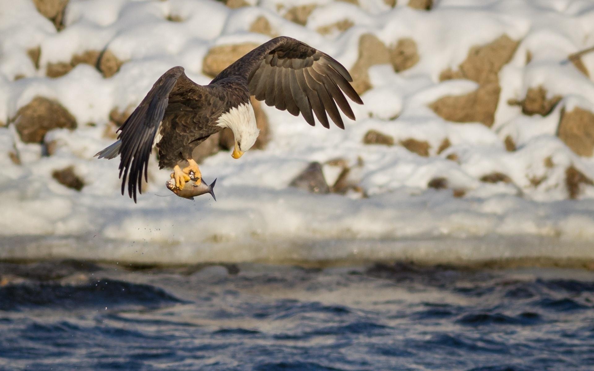 быстро картинки орла с добычей более глубокий