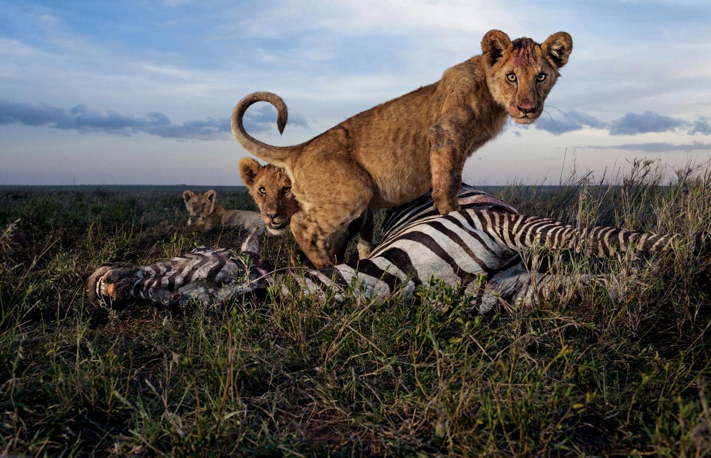 Семейство кошачьих на охоте
