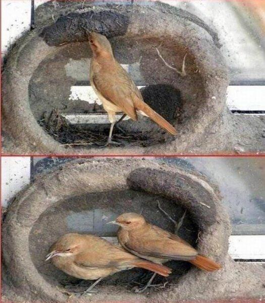 Птички строят гнездо фото