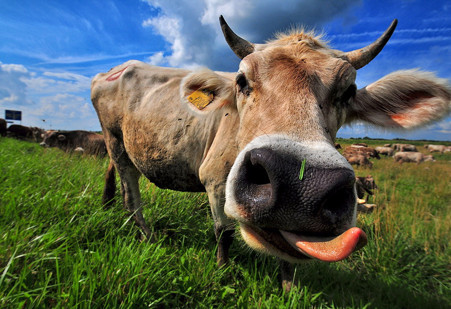 Картинка коровы смешной