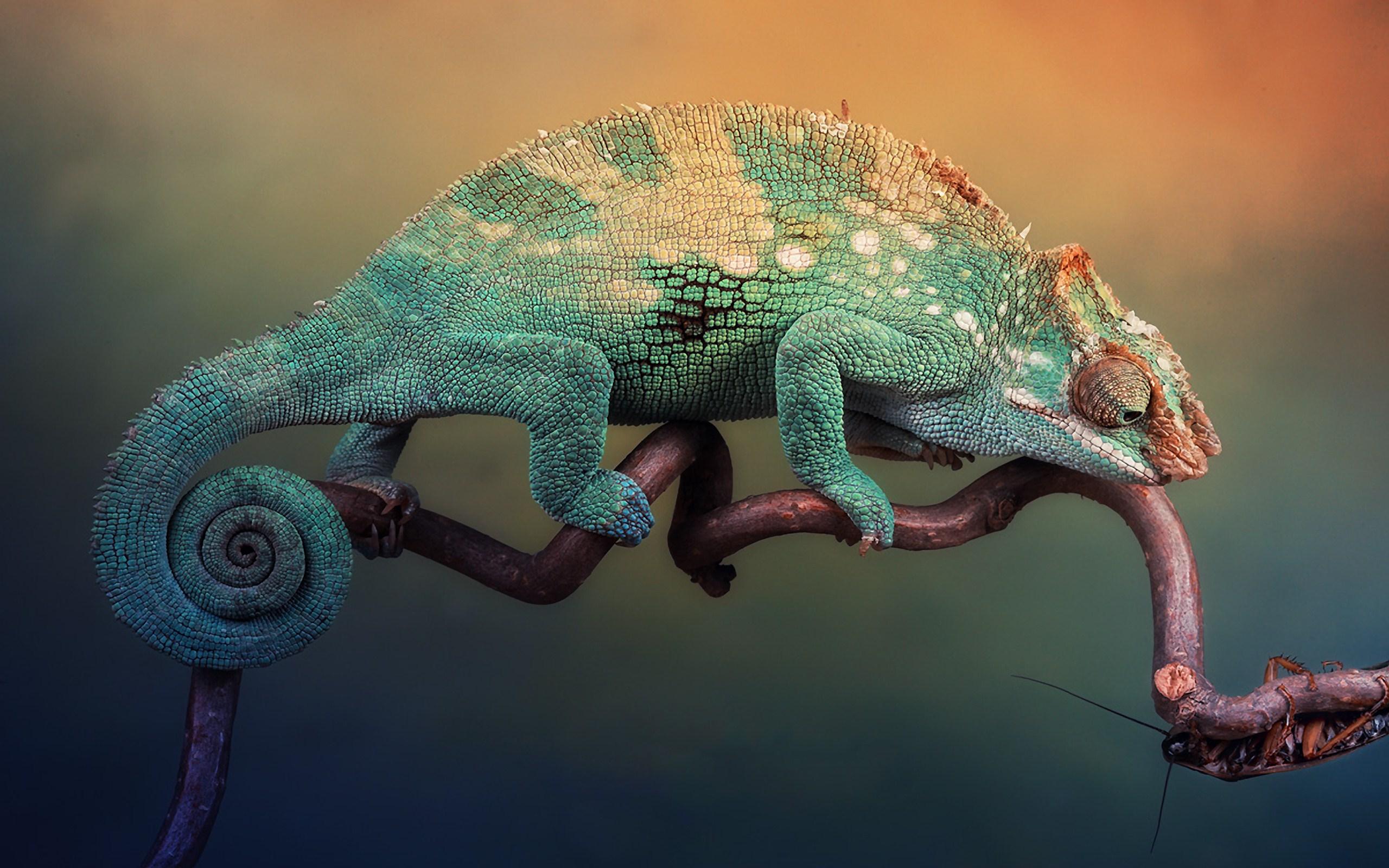 Макро фото, хамелеоны
