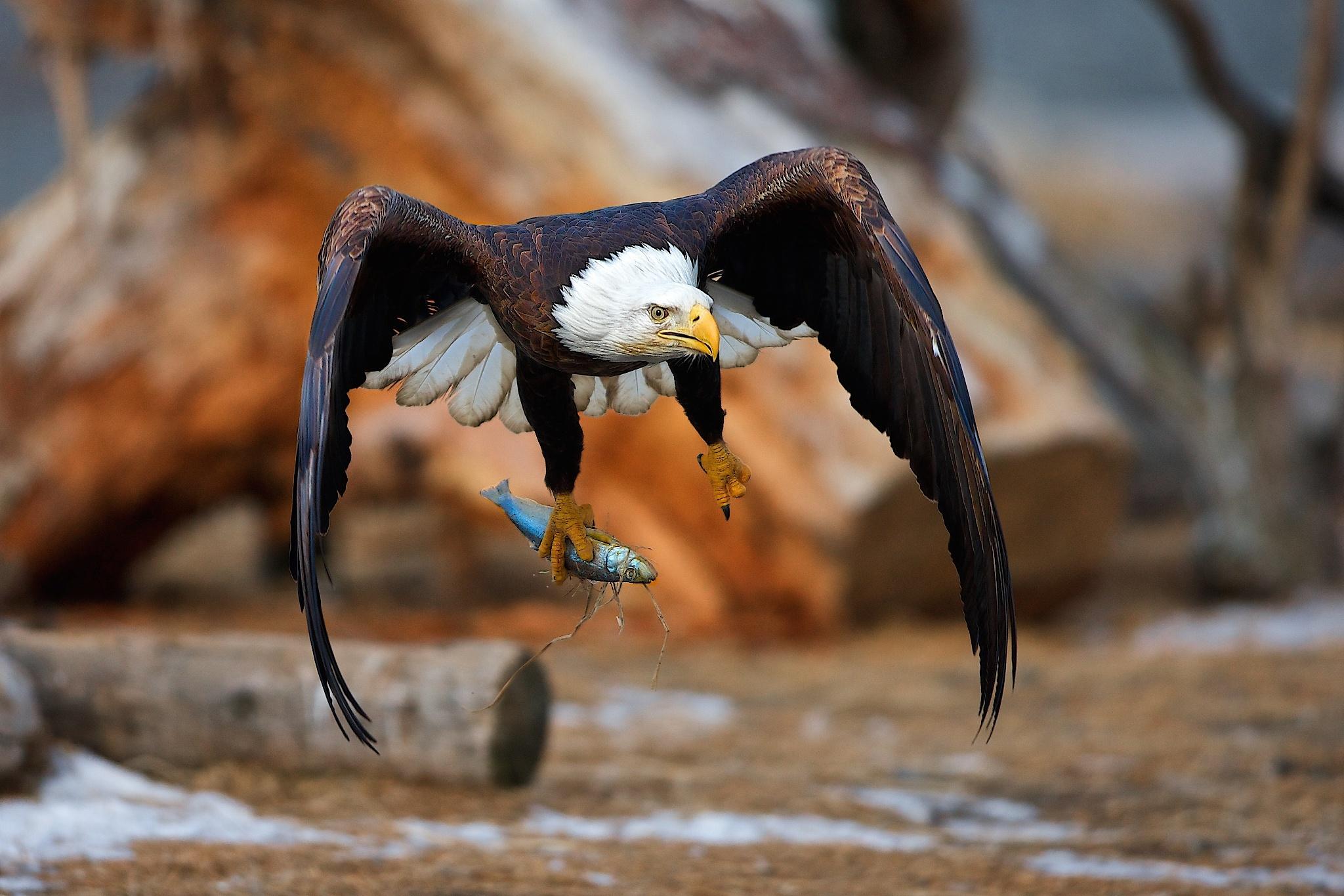картинки орла с добычей тренд приглянулся