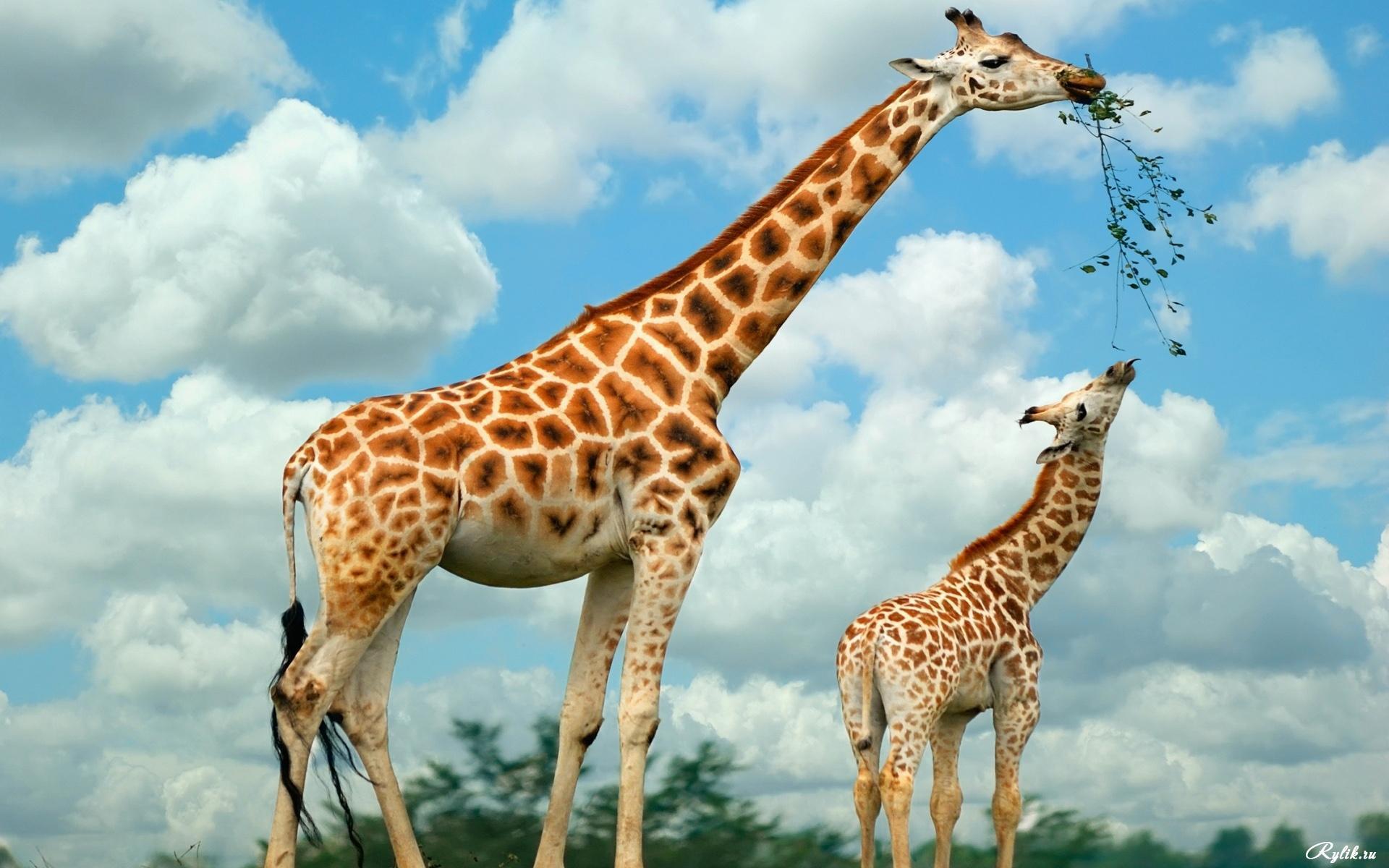 картинки с жирафчиком складываем две