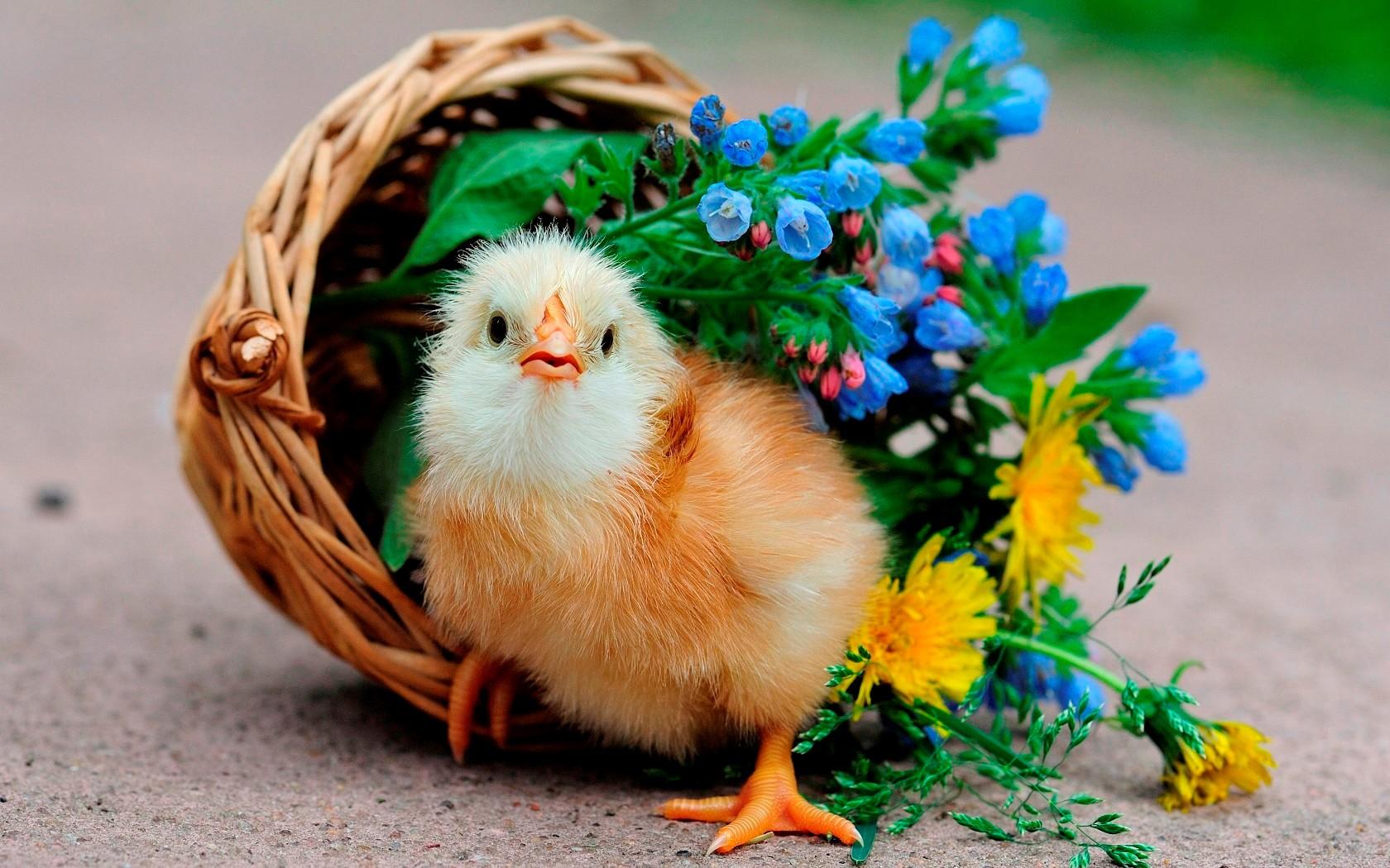 Цыпленок картинки с надписью
