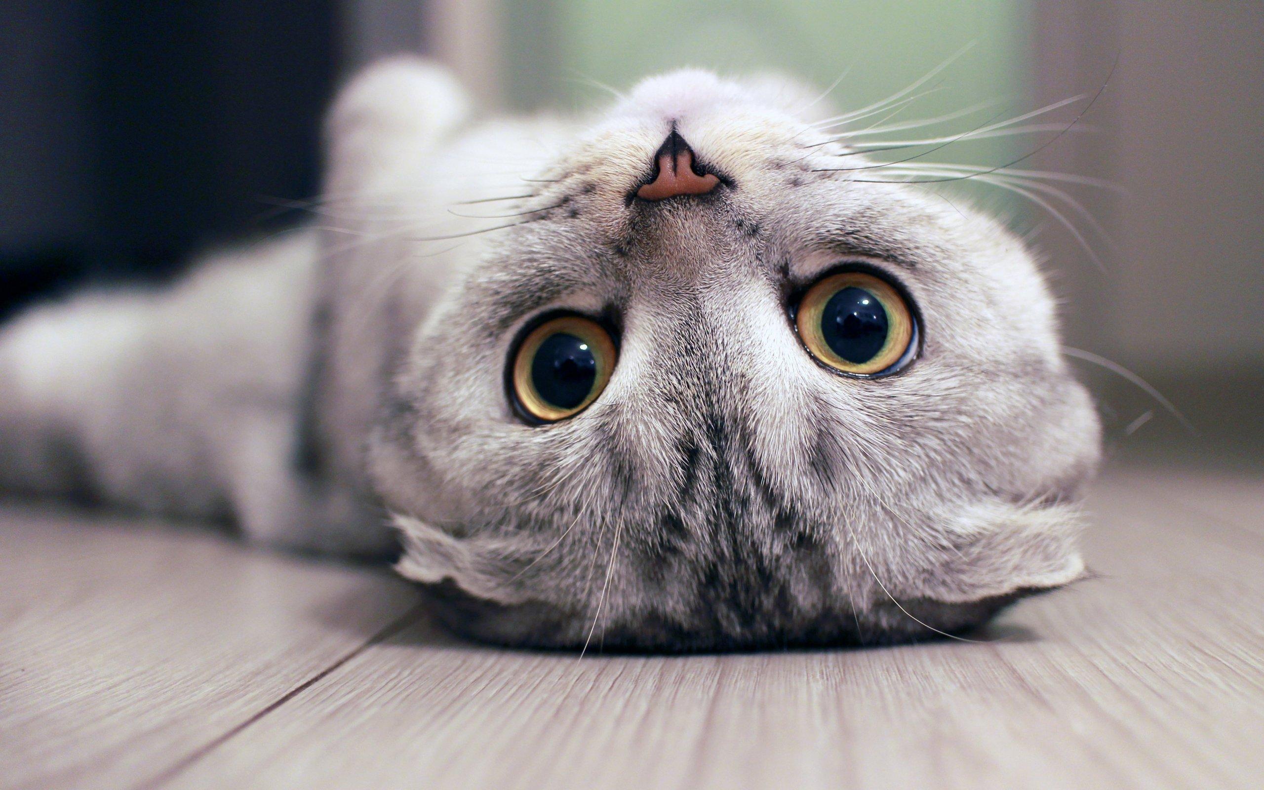люкс картинки на рабочий стол с вислоухими кошками азиатская махровая сфинкс