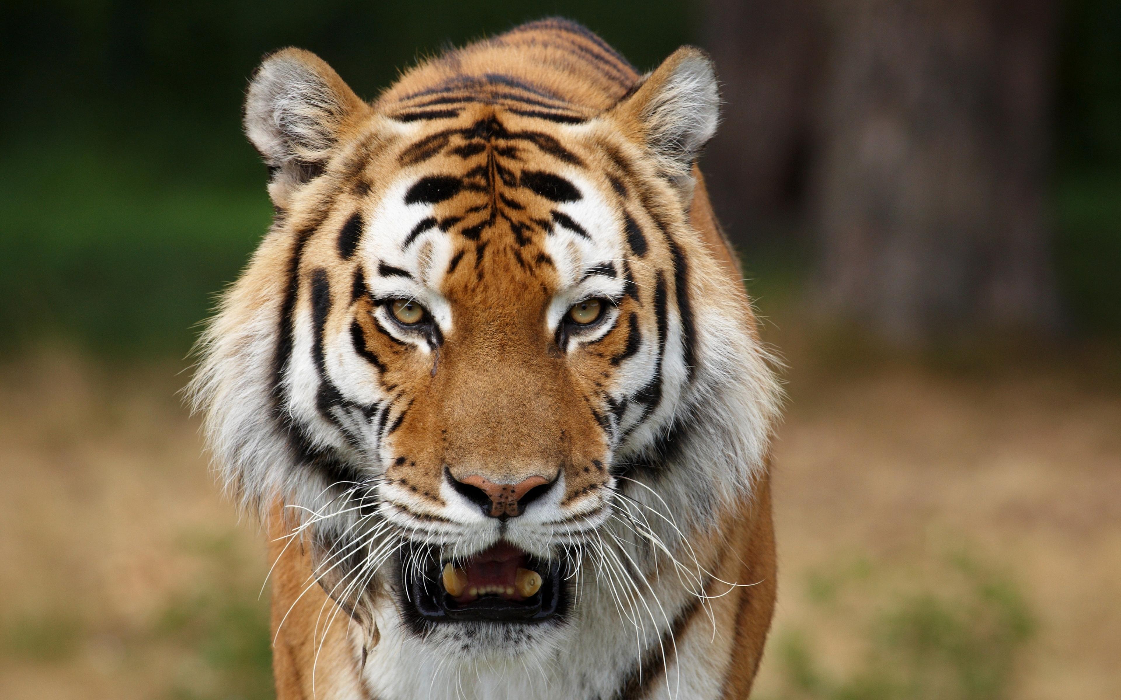 большой фотографии про диких зверей влияют размер