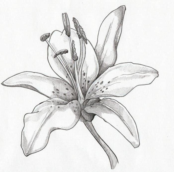 Рисунки лилий карандашом