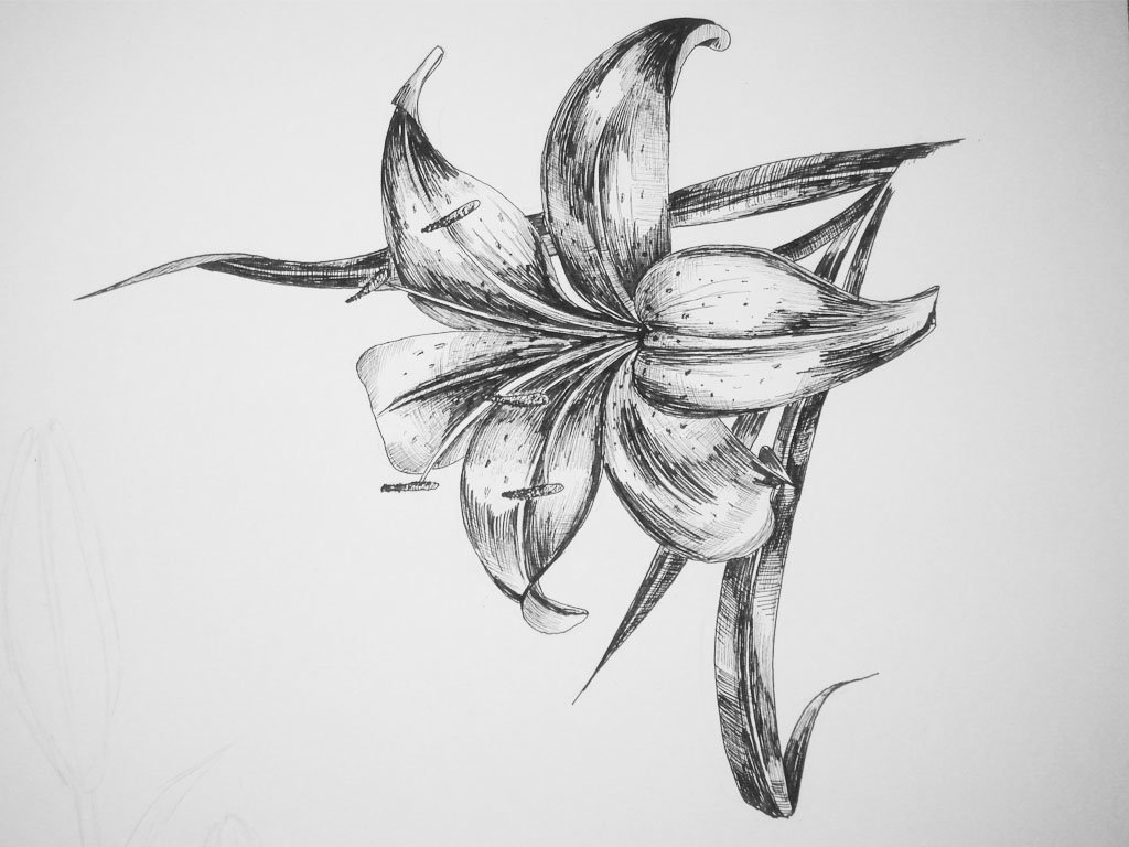 Лилии картинка карандашом