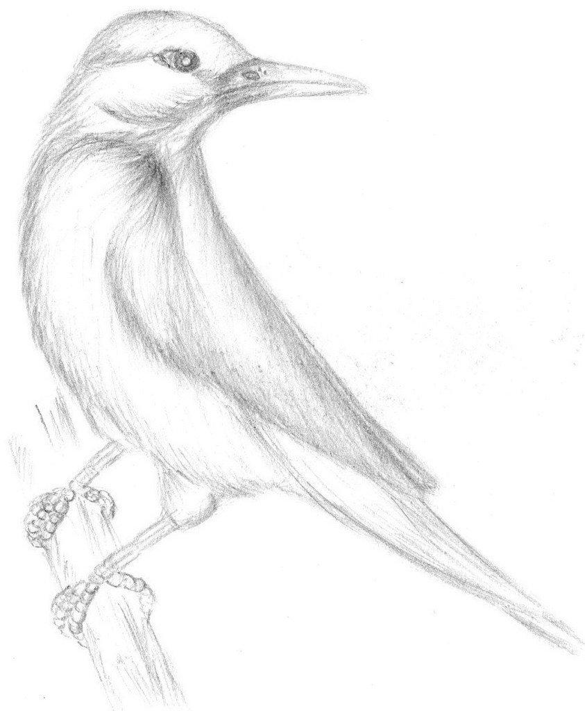 картинки диких птиц простым карандашом подавляющем