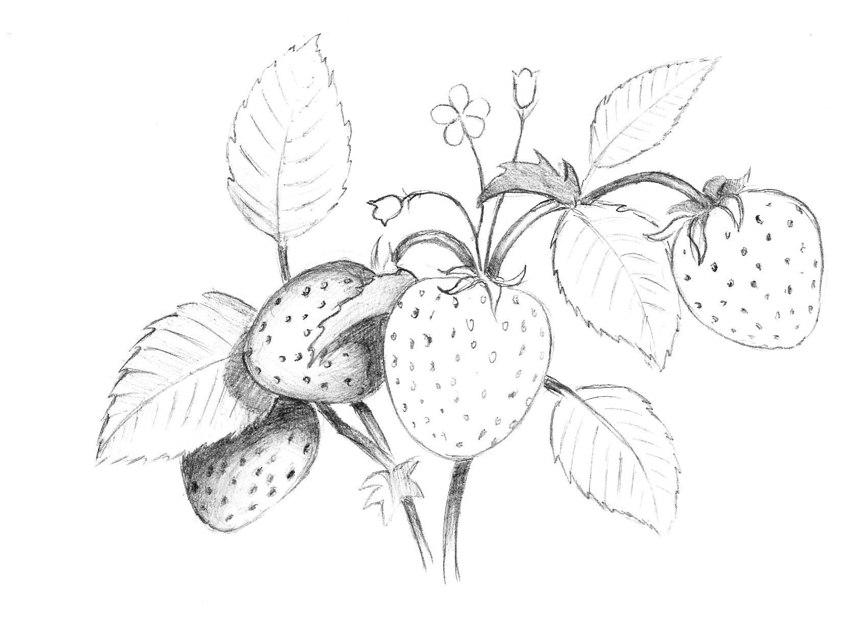 красавица рисуем карандашом ягоды картинки качестве