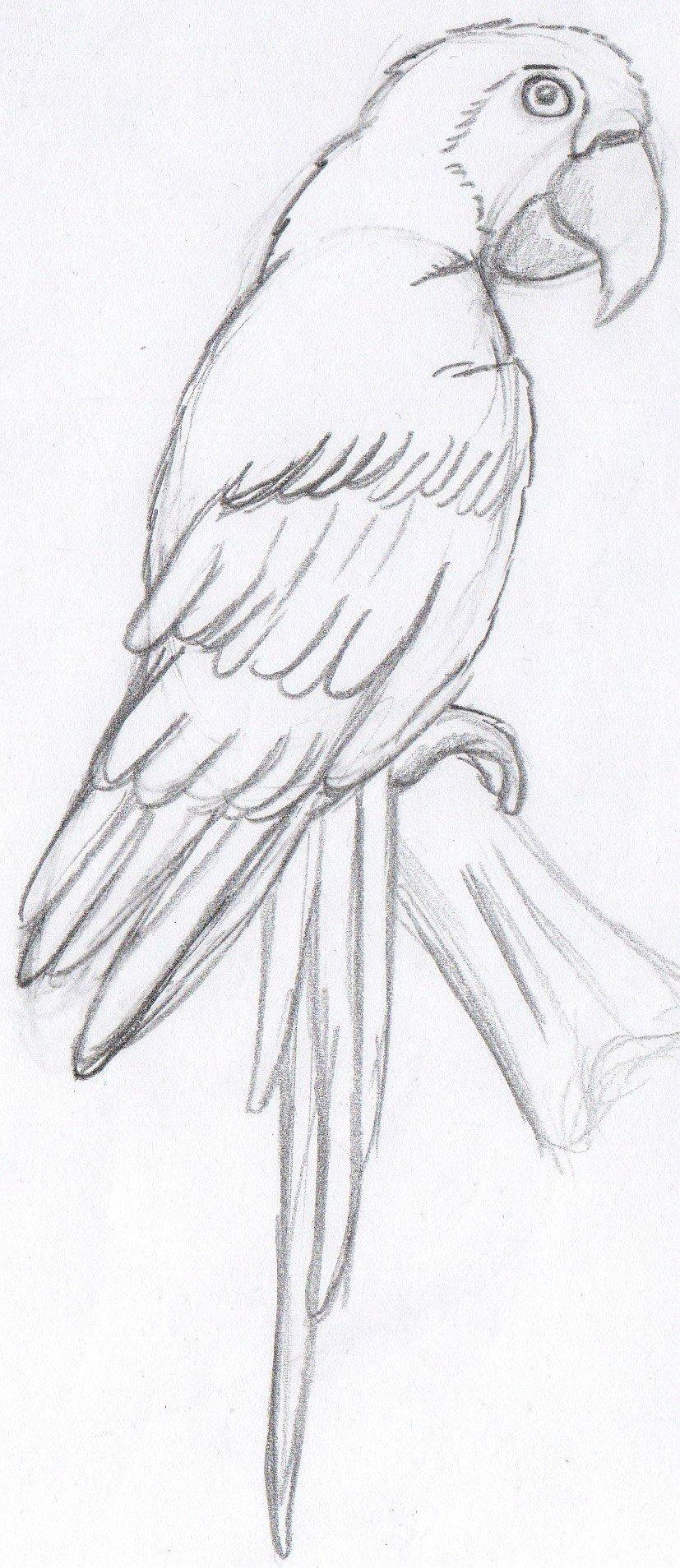 Рисовать попугая картинка