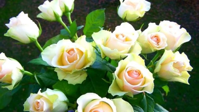 розы для сестры на день рождения