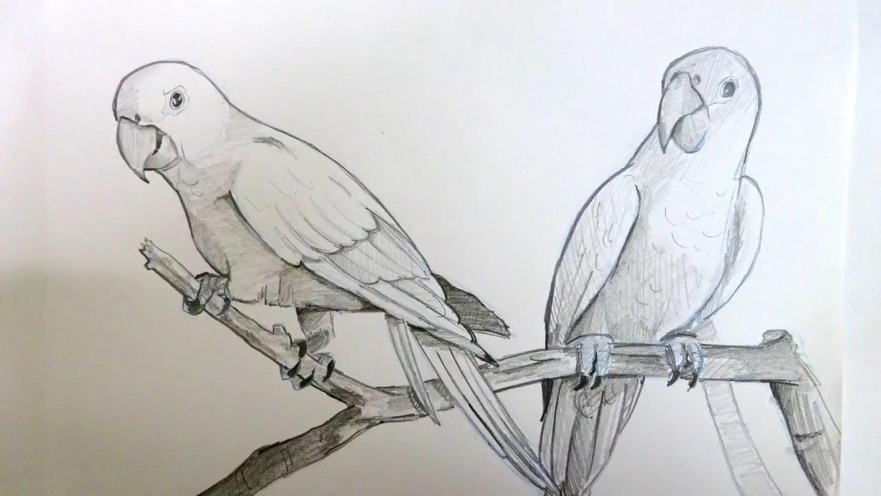 Картинка, картинки попугаев для срисовки