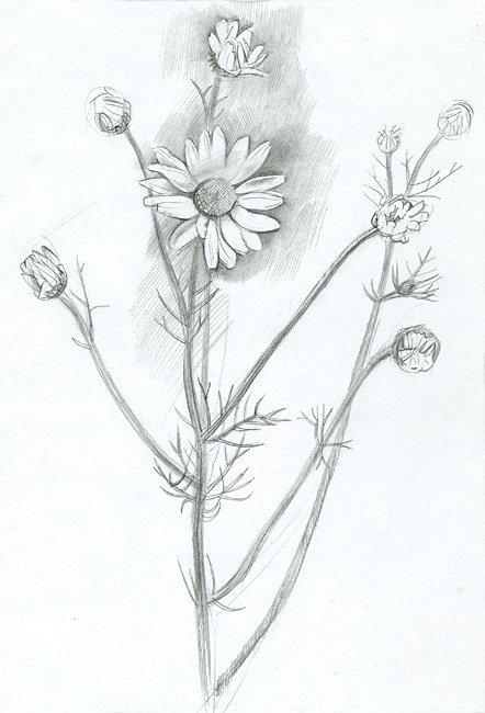Картинки карандашом ромашки для срисовки