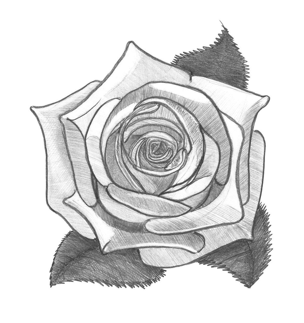 Картинки из роз карандашом