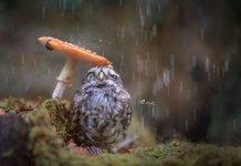 Совенок под дождем