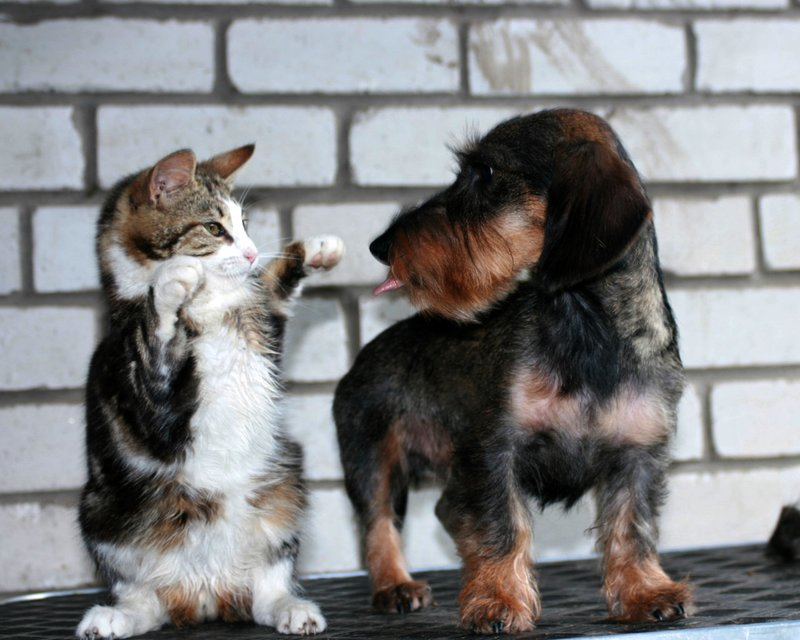 Кот на дыбах и пес