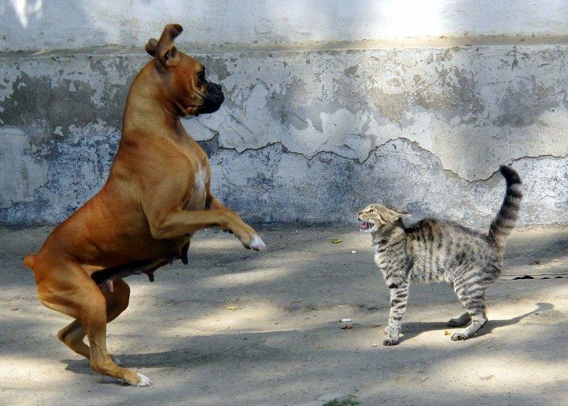 Кот шипит на пса