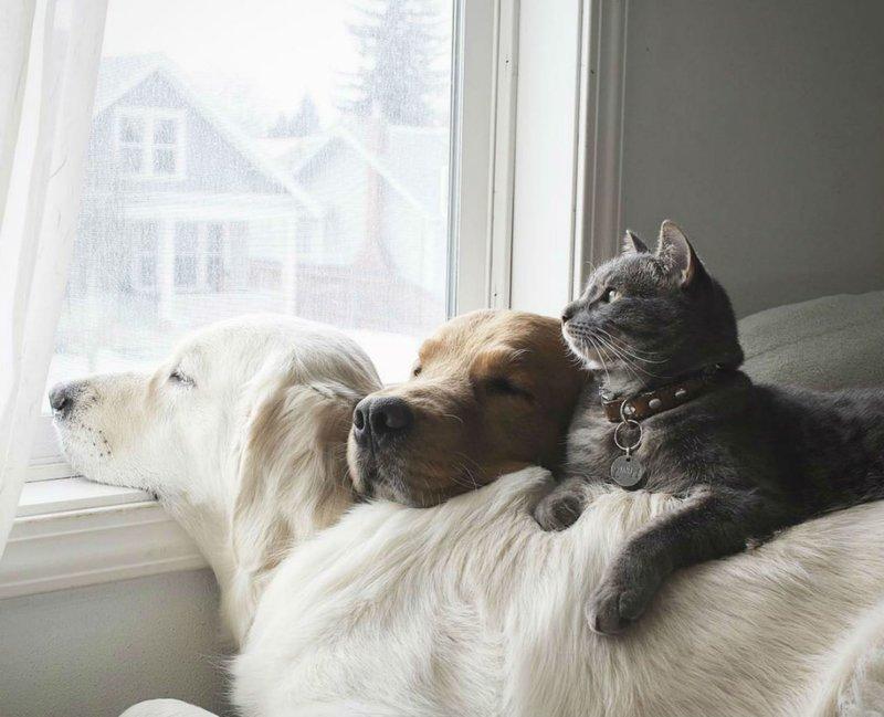 Два лабрадора и кот