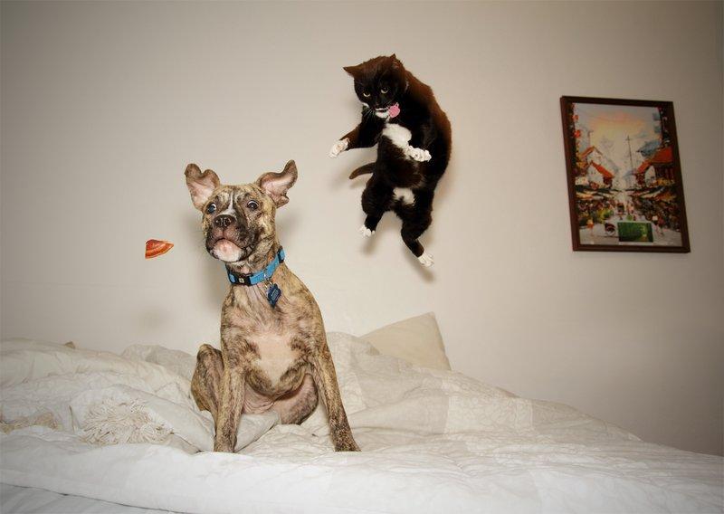 Кот и пес прыгают