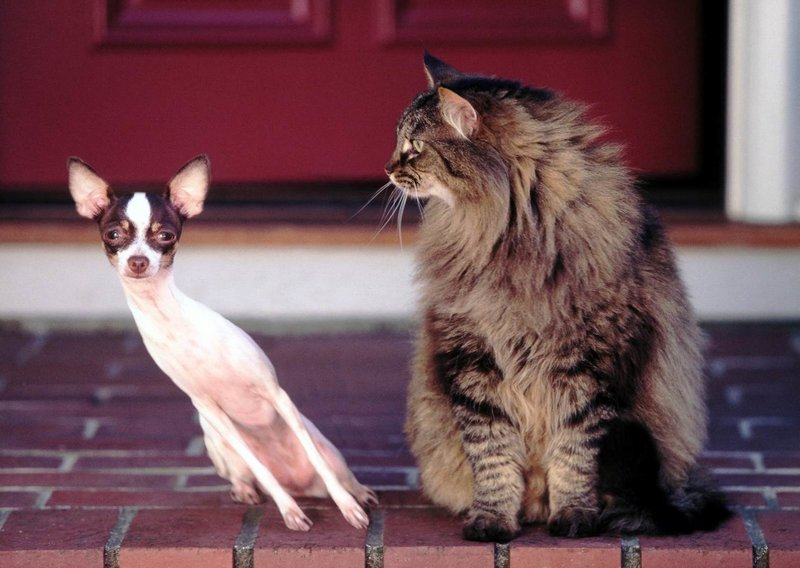 Чихуа и кот