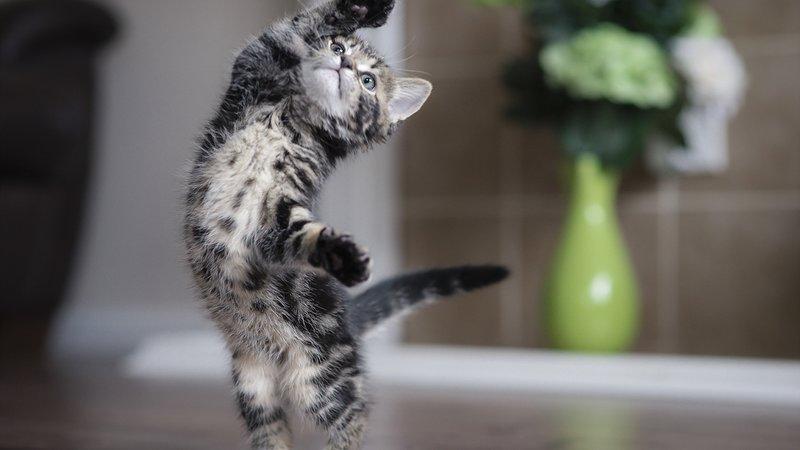 Котенок танцует