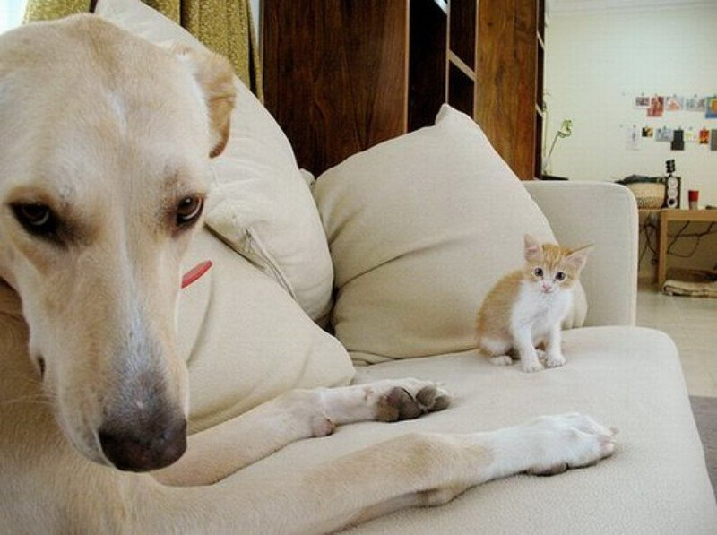 Лабрадор и котенок