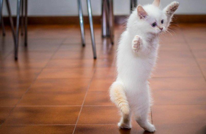 Белый котенок танцует