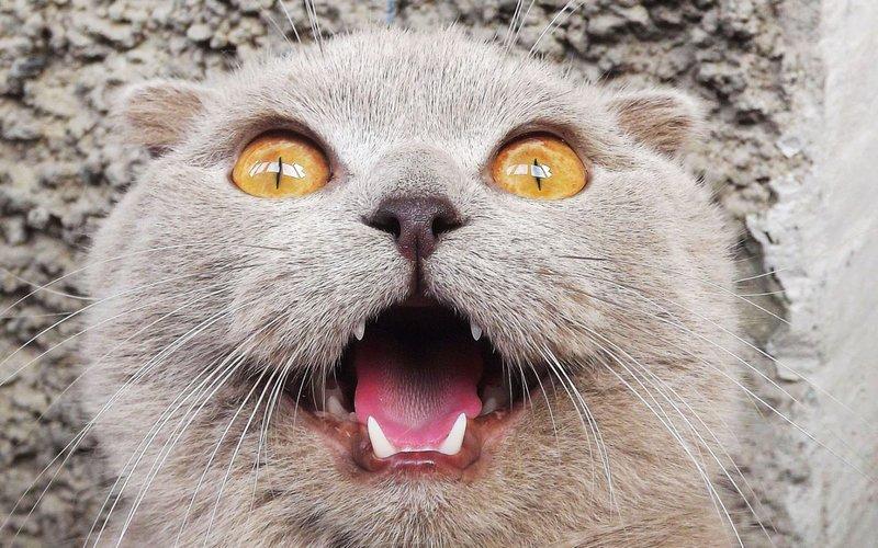 Кошка с открытым ртом