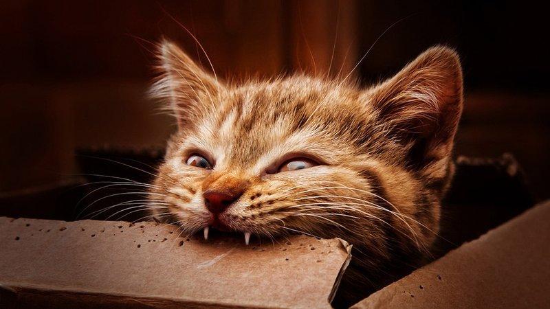 Котик кусает коробку