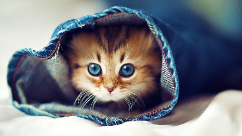Котенок прячется в джинсах