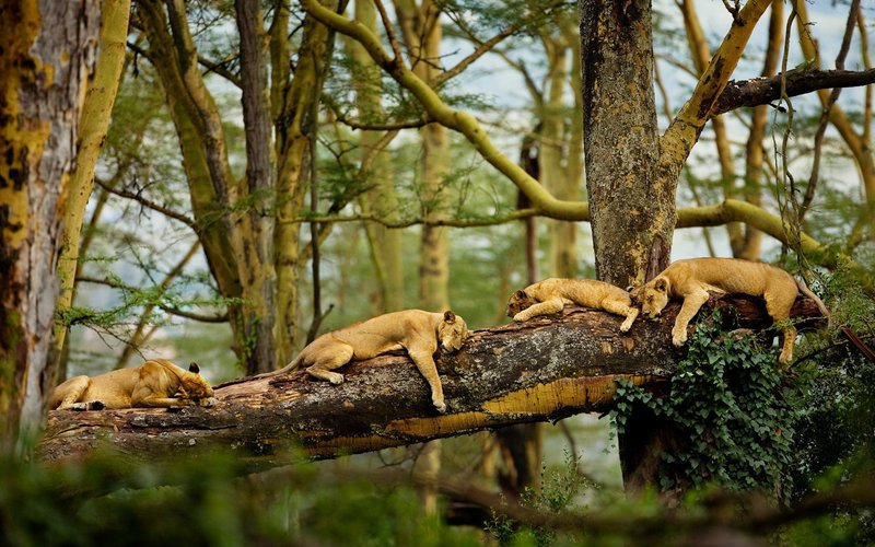 Львы спят
