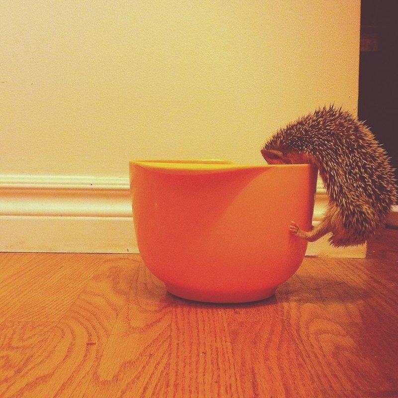 Ежик лезет в чашку