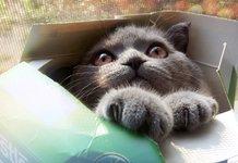 Серый котик в коробке