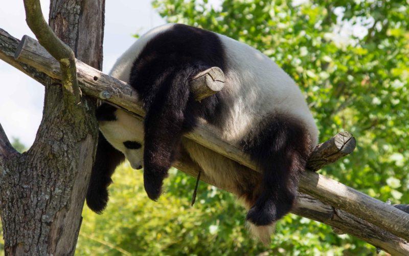 Смешные панды спят