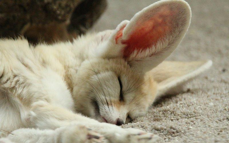 Спящее животное